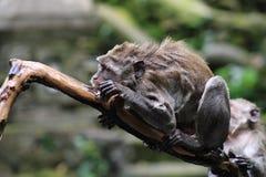湿猴子在Ubud猴子森林,巴厘岛,印度尼西亚里 免版税库存照片
