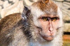 Ubud猴子 免版税库存图片