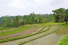 Поле террасы риса, Ubud Бали, Индонезия Стоковое Фото