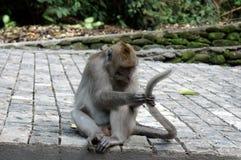 Ubud-Affe auf dem Boden lizenzfreie stockfotos
