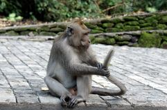 Ubud-Affe auf dem Bodenspielen lizenzfreie stockfotografie