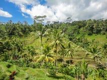 Ubud, Bali. Rice fields at Ubud village, Bali, Indonesia royalty free stock photos