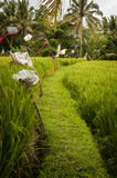 Ubud, Bali Rice Terrace Royalty Free Stock Image