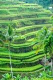 ubud för terrass för bali fältindonesia rice Fotografering för Bildbyråer