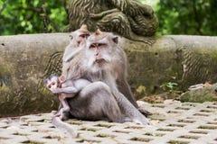 Ubud, mokey Wald, indische Makakenaffen mit Baby Stockfotos