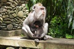 Ubud, mokey Wald, indische Makakenaffen mit Baby Lizenzfreie Stockfotografie