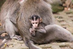Ubud, mokey Wald, indische Makakenaffen mit Baby Stockbild