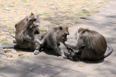 Three monkeys in Ubud Monkey Forest, Bali, Indonesia Royalty Free Stock Images