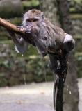 The wet monkey in Ubud Monkey Forest, Bali, Indonesia Royalty Free Stock Image