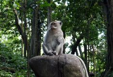Ubud Monkey sitting on a stone royalty free stock photo
