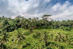 Ubud-Reisreisfelder Stockbild
