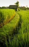 Ubud Rice Fields Royalty Free Stock Photo