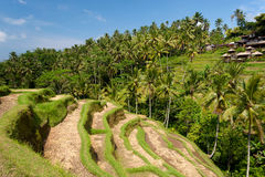 Ubud Rice Terraces, Bali Stock Images