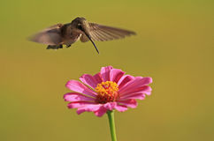 Uby throat hummingbird flying over a pink zinnia Stock Image