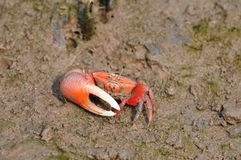 Uca arcuata crab. The carapace of Uca arcuata is 3-4 cm wide and is larger than U. crassipes and U. lactea. The color of the carapace varies but is mostly in Stock Images