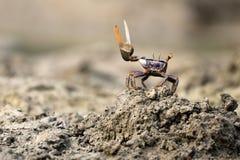 Uca tangeri crab royalty free stock image