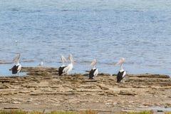 Uccelli acquatici australiani del pellicano che riposano sul lungomare a Coorong fotografia stock libera da diritti