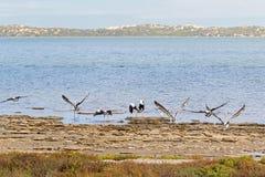 Uccelli acquatici australiani del pellicano che volano vicino al lungomare a Coorong immagine stock libera da diritti