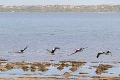 Uccelli acquatici australiani del pellicano che volano vicino al lungomare a Coorong fotografie stock
