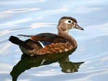 Uccelli acquatici dell'anatra di legno della gallina Fotografie Stock Libere da Diritti