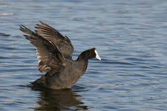 Uccelli acquatici della folaga Fotografie Stock Libere da Diritti