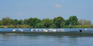 Uccelli acquatici di Pelikan nel delta di Danubio fotografia stock libera da diritti