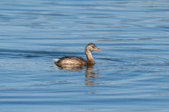 Uccelli acquatici - piti Immagine Stock