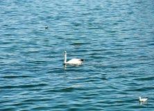 Uccelli acquatici sul lago calmo Fotografia Stock