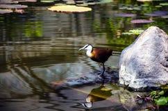 Uccelli acquatici sullo stagno Immagini Stock