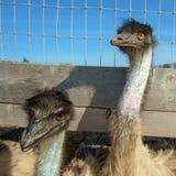 Uccelli ad un'azienda agricola dello struzzo Fotografia Stock Libera da Diritti