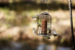 Uccelli affamati Immagini Stock