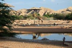 Uccelli africani, alimentazione della giraffa Fotografia Stock Libera da Diritti