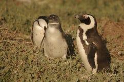 Uccelli africani del sud Immagine Stock
