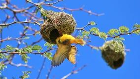 Uccelli africani, tessitore giallo e sbattimento Fotografie Stock