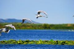 Uccelli al disopra della superficie con le piante Fotografia Stock