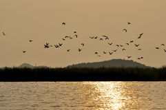 Uccelli al tramonto sul lago Songkhla, Tailandia Fotografie Stock