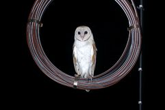 Uccelli alba di Owl Tyto del granaio euroasiatico sul cavo Fotografia Stock