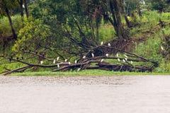 Uccelli in Amazon Immagini Stock