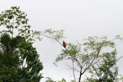 Uccelli in Amazon Fotografia Stock Libera da Diritti