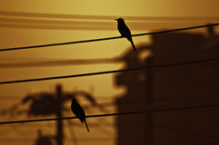 Uccelli appollaiati Fotografia Stock Libera da Diritti
