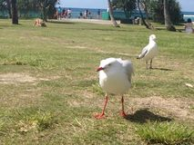 Uccelli arrabbiati Fotografie Stock