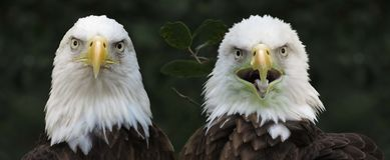 Uccelli arrabbiati calvi di Eagles fotografie stock