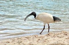 Uccelli australiani - ibis bianco Immagine Stock