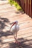 Uccelli bianchi americani di albus di Eudocimus dell'ibis Immagini Stock