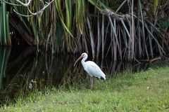 Uccelli bianchi americani di albus di Eudocimus dell'ibis Immagine Stock Libera da Diritti