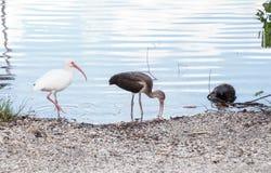Uccelli bianchi americani di albus di Eudocimus dell'ibis Immagine Stock