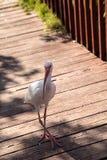 Uccelli bianchi americani di albus di Eudocimus dell'ibis Fotografia Stock