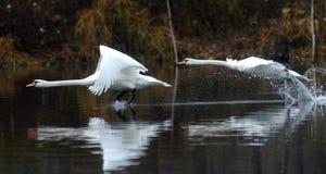 Uccelli bianchi che volano sopra l'acqua immagine stock libera da diritti