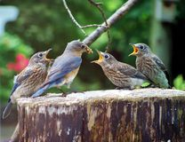 Uccelli blu Fotografia Stock