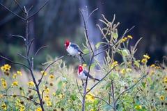 Uccelli (cardinale dalla cresta rossa) sul ramo e sui fiori gialli Immagine Stock